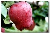 sweet fresh red apple