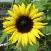 Healthcare Supplement Sunflower Pollen