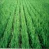 NAA98%, plant growth regulator