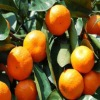 citrus fruit mandarin orange