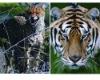 hot sale 2 flip tiger 3d animal pictures
