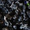 Wild Black Fungus
