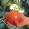 Hybrid f1 tomato seeds