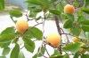 Semen Armeniacae /Semen armeniacae amarum/CAS NO: 29883-15-6