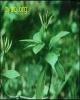Gardenia Jasminoides Extract