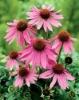 Echinacea purpurea P.E.