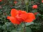 professional bare root rose seedlings