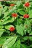 Ginseng Oil Natural Beauty Product