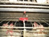 nipple drinking system for battery chicken cage for layer and broiler A H type