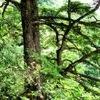 pine bark extract