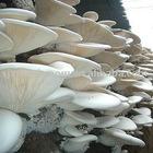 fresh bailing mushroom