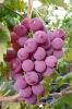 2012 red fresh yunnan grape (Bangladesh market)