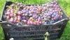 Fresh Red globe grape