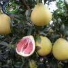 Fresh red citrus Pomelos