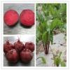 export fresh red beetroot