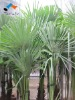 001 The Chinese windmill palms