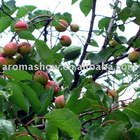 25kg Almond Oil Sweet, (Prunus amygdalus), Sweet Almond Oil, CAS 8007-69-0