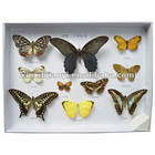 10 items life cycle of cabbage butterfly specimen