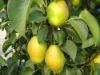 best quality fresh pear